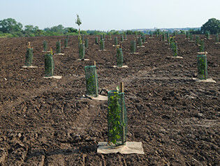 A field of freshly planted trees